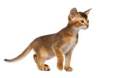 Weinig Abyssinian Kitty Walking op Geïsoleerde Witte Achtergrond stock fotografie