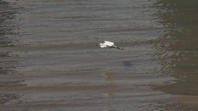 Weinig aigrette die over Huangpu-rivier in zonnige dag vliegen, vogel die over water glijden en bij de rivierbank landen, hoge sn stock video