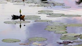 Weinig Aigrette en eenden die en in een lelievijver vissen zwemmen op Caraïbische golfcursus stock videobeelden