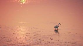 Weinig Aigrette loopt in het gouden water bij zonsondergang stock videobeelden