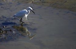 Weinig Aigrette op Mudflats royalty-vrije stock fotografie