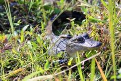 Weinig alligator in zon stock foto's