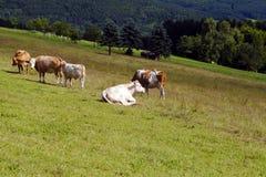 Weinig alpiene koeien op weiland Stock Foto