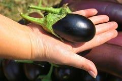Weinig aubergine Royalty-vrije Stock Fotografie