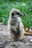 Weinig baby meerkat zitting en rond het kijken royalty-vrije stock afbeelding