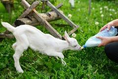 Weinig babygeit die gebottelde melk in een landbouwbedrijf van kinderen drinken royalty-vrije stock afbeeldingen
