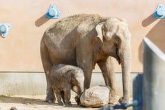 Weinig babyolifant en zijn moeder op een gang stock foto