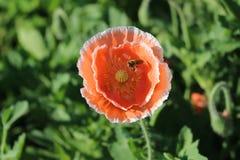 Weinig bij en bloem Royalty-vrije Stock Fotografie