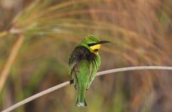 Weinig bij-Eter - Delta Okavango - Botswana stock foto's