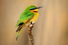 Weinig bij-Eter, Merops-pusillus, detail van exotische groene en gele Afrikaanse vogel met rood oog in de aardhabitat, Chobe-Nati stock afbeeldingen