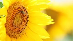 Weinig bij verzamelt nectar van zonnebloem stock videobeelden
