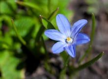 Weinig blauwe bloem Stock Afbeeldingen