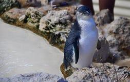 Weinig Blauwe Pinguïn: Pinguïneiland, Westelijk Australië Royalty-vrije Stock Afbeelding