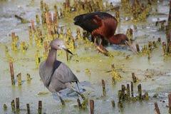 Weinig Blauwe Reiger en Glanzende Ibis stock afbeeldingen