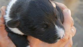 Weinig blind pasgeboren puppy in handen van een mens Dichtbij looppasmamma van puppy stock videobeelden