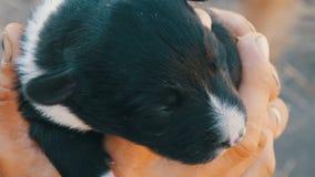 Weinig blind pasgeboren puppy in handen van een mens Dichtbij looppasmamma van puppy stock footage