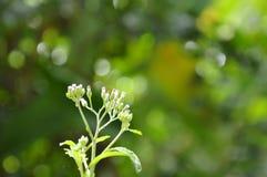 Weinig bloei van het de bloem tropische kruid van het ijzeronkruid in tuin stock afbeelding