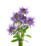 Weinig bloeiende twijgen van Wilde Thyme & x28; Zwezerik serpyllum& x29; geïsoleerd op witte achtergrond Royalty-vrije Stock Fotografie
