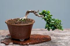 Weinig bonsaiboom Stock Afbeeldingen