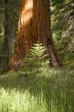 Weinig boom, grote boom Stock Afbeeldingen