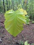 Weinig boom met groot groen blad Stock Afbeelding