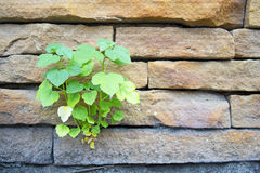 Weinig boom van BO groeit door muur Royalty-vrije Stock Fotografie