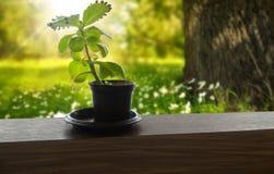 Weinig boom in weinig pot Stock Foto's