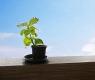 Weinig boom in weinig pot Stock Foto