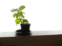 Weinig boom in weinig pot Royalty-vrije Stock Afbeelding