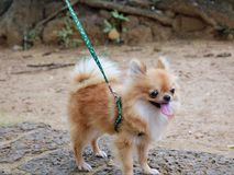 Weinig bruine hond, Pomeranian royalty-vrije stock foto's