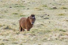 Weinig Bruine Poney op het Gebied van het Gras Royalty-vrije Stock Foto