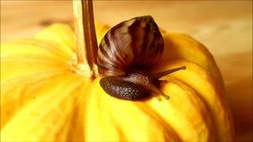 Weinig bruine shell slak die langzaam op de trillende gele pompoen beklimmen stock footage