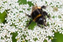 Weinig Bumble bij bezige het verzamelen zich nectar in de zomer stock afbeelding