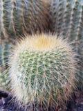 Weinig Cactus Stock Foto