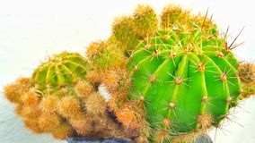 Weinig Cactus Royalty-vrije Stock Afbeeldingen