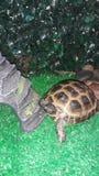 Weinig centraal-Aziatische landschildpad in terrarium royalty-vrije stock foto
