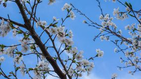Weinig Cherry Blossoms tijdens de Lente Royalty-vrije Stock Foto's