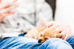 Weinig chihuahua snel in slaap op a bemant knie stock fotografie