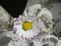 Weinig daisie op een rots stock fotografie