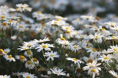 Weinig Daisy bloeit het blazen in het onduidelijke beeld van de windmotie bij tuin Stock Afbeelding