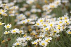 Weinig Daisy bloeit het blazen in het onduidelijke beeld van de windmotie bij tuin Stock Fotografie