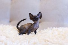 Weinig de kattenzitting van katjesdevon rex Royalty-vrije Stock Afbeeldingen