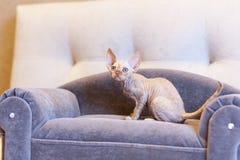 Weinig de kattenzitting van katjesdevon rex op blauwe bank Royalty-vrije Stock Afbeeldingen