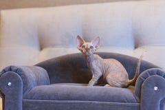 Weinig de kattenzitting van katjesdevon rex op blauwe bank Stock Foto's