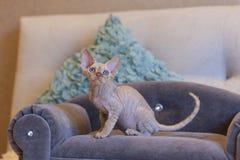 Weinig de kattenzitting van katjesdevon rex op blauwe bank Stock Foto
