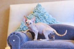 Weinig de kattenzitting van katjesdevon rex op blauwe bank Royalty-vrije Stock Fotografie