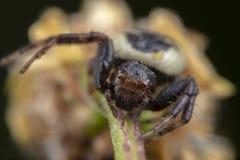 Weinig de spin van synemaglobosum het stellen op een bloem stock fotografie
