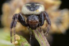 Weinig de spin van synemaglobosum het stellen op een bloem stock foto's