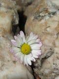 Weinig die daisie in een barst in een rots wordt gevangen royalty-vrije stock fotografie