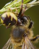 Weinig die honingbij door spin wordt gevangen stock foto's